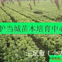 低价出售各种规格优质大叶黄杨/冬青卫矛