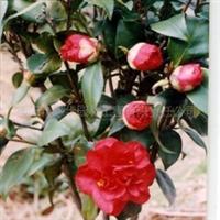 供应衡阳的茶梅球 蓬径30-100公分 灌木( 图)