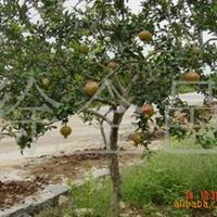 长期低价供应石榴树(图)