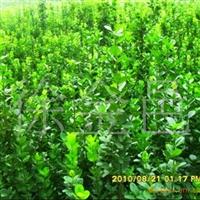 大量供应北海道黄杨、大叶黄杨、金边黄杨、瓜子黄杨等