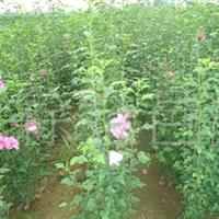 大量供应优质丛生木槿、紫荆、紫薇、木瓜、曲柳、火棘