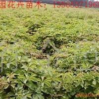 供应五叶地锦(图)