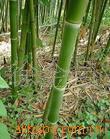 长期低价供应园林绿化用各种竹子(图)