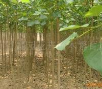 杨树基地低价供应杨树苗(图)