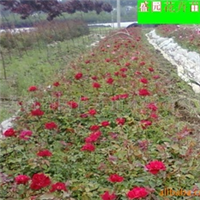 苗圃基地低价面议供应各种花卉种苗批发,欢迎实地考察