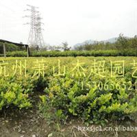 基地直销 工程绿化小苗 金森女贞 盆栽地栽 15306565211