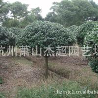 供应园林绿化工程 乔木 无刺构骨