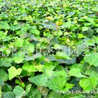 杰超园艺 供应园林绿化藤本类植物 常青藤
