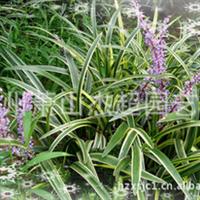 大量供应园林绿化植物 金边麦冬