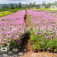 供应园林地被类绿化植物       红花酢浆草