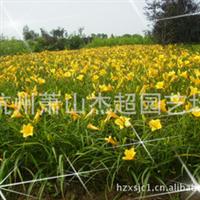 供应 园林绿化地被类植物  金娃娃萱草