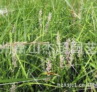 供应园林绿化 水生地被宿根类植物 吉祥草
