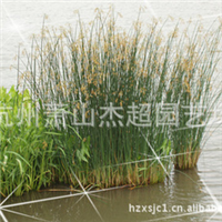 供应园林绿化水体地被类植物 水葱