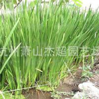大量供应 水生植物 水菖蒲