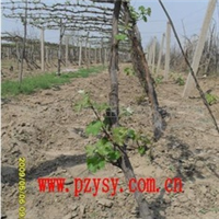 供应葡萄树葡萄苗(图)