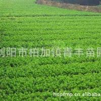 大量低价供应绿化苗木杜鹃树