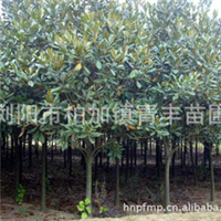 柏加最低价 低价出售广玉兰 青丰苗圃大量供应  欢迎咨询考察