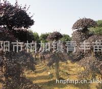大量低价供应绿化苗木红继木树