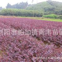 农户直销各种规格[红花继木]品种好双面红