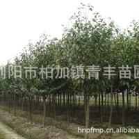 大量低价供应绿化苗木乐昌含笑树