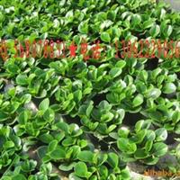 碧玉,供应豆瓣绿苗,碧玉供应,豆瓣绿
