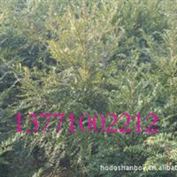 在线批发红豆牌红豆杉,南方红豆杉绿化苗木,红豆杉小苗一件起批