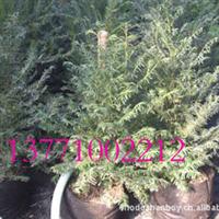 在线批发红豆牌红豆杉盆景苗,红豆杉树苗,一件起批,南方红豆杉