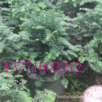 在线批发红豆牌红豆杉盆景花卉,超低价格,数量有限,欲购从速!