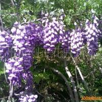 河北定州供应多年生优质高档的用于亭、棚美化的紫藤