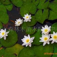 睡莲 荷花 萧山绿化 水生植物
