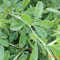 供应河北省定州市产优质丛生花灌木 锦鸡儿