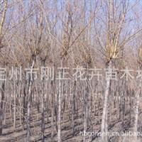 供应河北定州产优质金丝垂柳