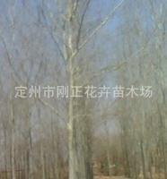 供应河北苗木优质乔木毛白杨