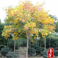 供应园林绿化景观苗木:无患子