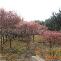 供应精品园林绿化苗木:红枫
