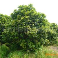 大量供应优质精品园林绿化苗木(灌木):四季桂