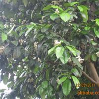 精品 香泡 稀缺景观绿化苗木