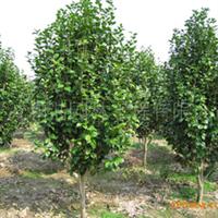 茶花 :精品-茶花-球类-园林景观绿化苗木供应