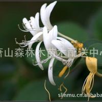 供应金银花 藤蔓状 地被植物