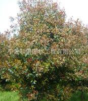 红叶石楠树:独家供应景观专用树种