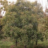 供应优质苗圃苗:本地石楠/光皮石楠
