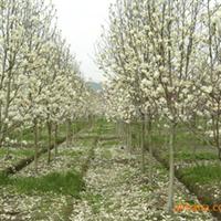 白玉兰 精品景观园林绿化苗木