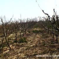 大量供应乔灌木、梨树、板栗树、樱桃树、石榴树.柿子树、紫藤