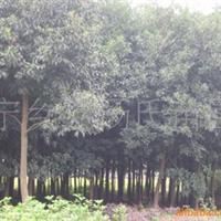 低价供应杜英,樟树等树苗