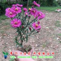 荷兰菊【低价供应绿化苗木、草花、宿根地被植物】