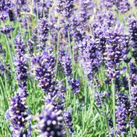 薰衣草【低价供应绿化苗木、草花、宿根地被植物】