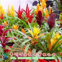 供应批发盆栽凤梨花、组合凤梨盆景,批发年宵花。