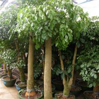 供应室内景观植物发财树、幸福树、老板树、红豆杉