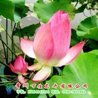 供应水生植物盆景荷花、睡莲、碗莲