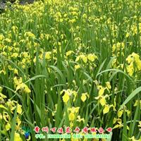 供应水生鸢尾【山东水生植物基地】